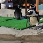 那須どうぶつ王国のペンギンたちの撮影をする 那須どうぶつ王国へカピバラに会いに行く旅 その5