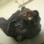 桜の花びらが浮かぶプールでのカバの餌やりタイム 春の青春18きっぷの旅 日立市かみね動物園編 その5