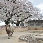 桜をバックに悠々と歩くサイなどを撮影する 春の青春18きっぷの旅 日立市かみね動物園編 その6