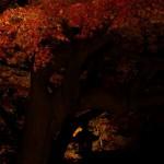 紅、黄、緑に光が当たることで日常とは違う世界になる 六義園の紅葉ライトアップ2012 その2