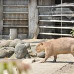 日向ぼっこの後はルナとソルの水浴びタイム 上野動物園のカピバラ観察日記 その2