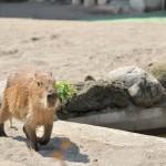 ルナの豪快なプールへの飛び込み! 上野動物園のカピバラ観察日記 その3