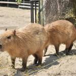 ソルとルナの2頭同時のプールへの飛び込み! 上野動物園のカピバラ観察日記 その4