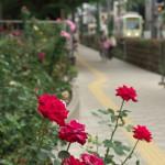 【Tokyo Train Story】荒川自然公園入口のバラ(都電荒川線)