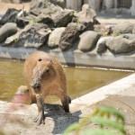 バクと一緒にソルとルナのお食事タイム 上野動物園のカピバラ観察日記 その5