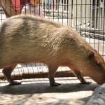 西園の主、カピバラのマオにも会ってきた! 上野動物園のカピバラ観察日記 その6(最終回)
