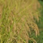 実りの季節を迎えた栃木の田園地帯を烏山線の車内から見納める 夏の青春18きっぷの旅2011 烏山線編 その5
