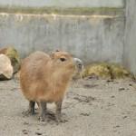 ついに宇都宮動物園のカピバラたちに遭遇する! 冬の青春18きっぷの旅 栃木編 その15(最終回)
