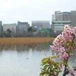 平成25年(2013年)も桜の季節がやって来た!上野公園で一足早くお花見をしつつ、ミラーレスカメラのNikon1 J1で桜の撮影をしてきた