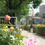【Tokyo Train Story】バラの小径(都電荒川線)