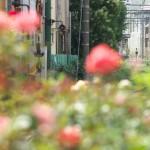 【Tokyo Train Story】バラ越しの都電荒川線