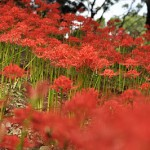 上野公園の曼珠沙華(彼岸花)
