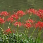 小石川後楽園の曼珠沙華(彼岸花) その1