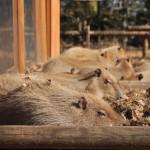 午前中はひたすら続くカピバラ睡眠ショー 埼玉県こども動物自然公園へカピバラに会いに行く旅 その2