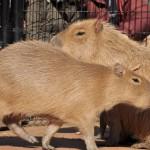 睡眠から覚めたカピバラたちは元気に動き回ります 埼玉県こども動物自然公園へカピバラに会いに行く旅 その4