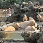 カピバラ温泉に気持ちよさそうに入るカピバラをたっぷりと! 埼玉県こども動物自然公園へカピバラに会いに行く旅 その7