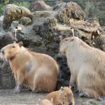 カピバラ温泉に入るカピバラの姿をしっかりと目に焼き付けよう! 埼玉県こども動物自然公園へカピバラに会いに行く旅 その9(最終回)