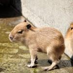 伊豆シャボテン公園の3匹の子供カピバラ 春の青春18きっぷの旅 カピバラ編 その3