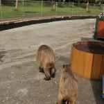 水浴び、お散歩、日向ぼっこ。伊豆アニマルキングダムのカピバラの日常 伊豆半島カピバラ行脚の旅 その5