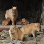 伊豆シャボテン公園のカピバラ一家の様子をたっぷりと観察する! 伊豆半島カピバラ行脚の旅 その11