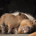 埼玉県こども動物自然公園のカビバラフォトコンテスト写真展にとくとみのカピバラ写真を出品しました!