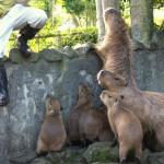 中カピも仔カピもみんな甘えん坊な伊豆シャボテン公園のカピバラ一家 伊豆半島カピバラ行脚の旅 その15