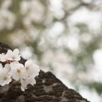 今週の365 DAYS OF TOKYO(4月1日~4月7日) ~ 谷中と上野の桜風景