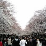 携帯電話F905iで撮影した桜の写真2枚
