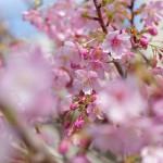 向島百花園で東京スカイツリーを眺めながらの梅見物 PENTAX K-3で下町撮影散歩 その1