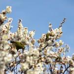 春の向島百花園で白紅ピンクの梅をたっぷりと撮影する。メジロも出現したよ! PENTAX K-3で下町撮影散歩 その2
