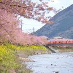 河津桜と菜の花の動画と伊豆急行線の動画を2本見てもらってこの旅レポートの締めとします 春の伊豆旅行2014 その17(最終回)