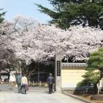 【東京春景色】上野の寛永寺境内の満開の桜 春のお花見フォトウォーク2014 その5