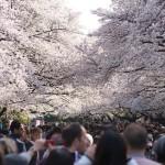 【東京春景色】上野公園の満開の桜と五條天神社の三色梅 春のお花見フォトウォーク2014 その6