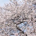 【東京春景色】西日暮里の諏訪神社の桜が咲く春景色 春のお花見フォトウォーク2014 その1