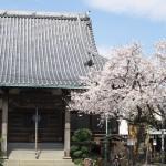 【東京春景色】谷中の宗林寺、岡倉天心記念公園、初音の森の桜 春のお花見フォトウォーク2014 その3