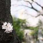 【東京春景色】谷中の墓地と宗林寺のみごとな桜がある風景 春のお花見フォトウォーク2014 その4