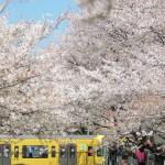 【Tokyo Train Story】青い空にピンクの桜に黄色い電車(西武新宿線)
