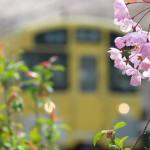 【Tokyo Train Story】西武新宿線沿線でひっそりと咲く桜の花