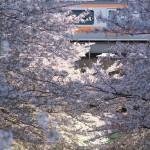 【Tokyo Train Story】咲き乱れる桜の向こうを駆け抜ける中央線
