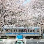 【Tokyo Train Story】桜並木を通過する西武新宿線