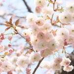 【東京春景色】谷中の八重桜、枝垂れ桜、ソメイヨシノ、鬱金桜 春のお花見フォトウォーク2014 その8