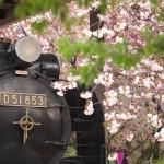 【Tokyo Train Story】八重桜で周囲が彩られた飛鳥山公園のD51