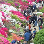 根津神社で開催されている文京つつじまつりで満開のつつじをたっぷりと見てきた!
