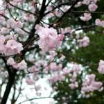 【東京春景色】雨の中、上野の不忍池の桜をNikon1 V1で動画撮影してみた