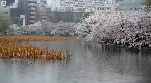 雨の不忍池でお花見