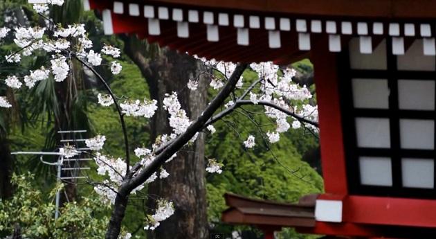 桜が散り行く雨の上野公園
