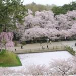 青森旅行の2日目は弘前の桜のトンネルと黒石のこみせ通り見学
