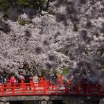弘前公園四の丸の桜と岩木山もこれまたみごとだった! 『弘前の桜を見に行こう!』 その6