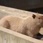 5月4日の無料開園日に上野動物園で暮らす5頭のカピバラたちをたっぷりと撮影してきた!