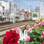 【Tokyo Train Story】バラを眺めながら都電荒川線沿線散歩